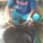 Pengenalan Ikan Gabus Asal Kab Buru Ke Pemerintah Pusat