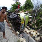 Mobil Pengakut Ayam Potong Terguling di Penurunan Desa Woise Kolaka Utara